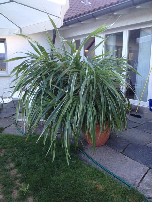 Zimmerpflanze 170cm.hoch ca130cm breit ca 15 Jahre Garten & Handwerk