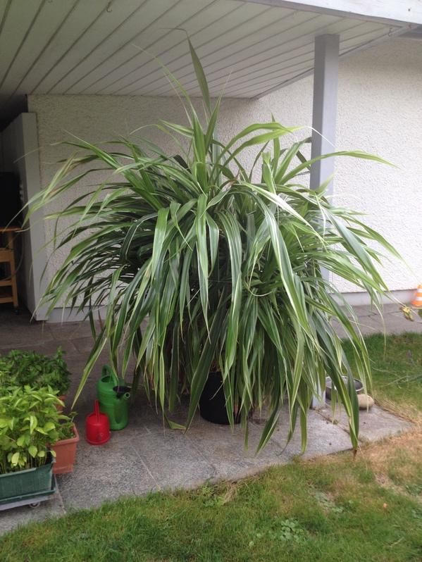 Zimmerpflanze 170cm.hoch ca130cm breit ca 15 Jahre Garten & Handwerk 2