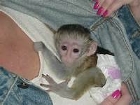 Affectionate Female Baby Capuchin/marmoset Monkey For your  valitine(lover) Gift (430) 808-2841 Antiquitaeten 2