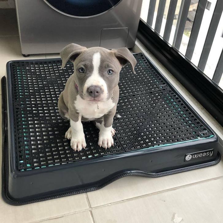 American Staffordshire terrier Tiere