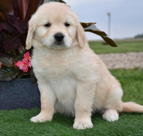 Golden Retriever Puppies - K C Reg Antiquitaeten