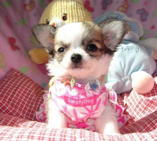 Traumhaft schöne Chihuahua Welpen Antiquitaeten