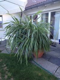 Zimmerpflanze 170cm.hoch ca130cm breit ca 15 Jahre
