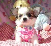 Traumhaft schöne Chihuahua Welpen