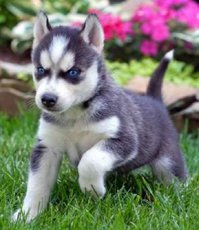 verkaufe Siberian Husky welpen Reinrassige